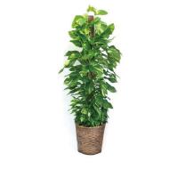 観葉植物の買取